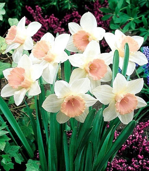 Narcis Passionale